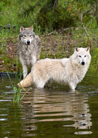 Timber Wolf Pair