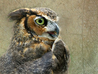 Great Horned Owl Textured