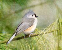 Titmouse on Pine tree