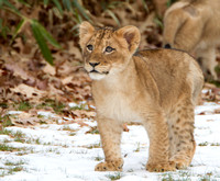 Lion cub in snow