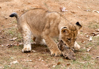 Lion cub and stick