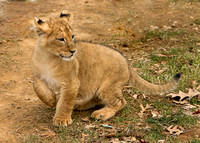 Cute Lion Cub paw up